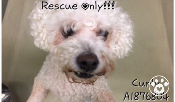 Curly saved moments before euthanasia - senior poodle