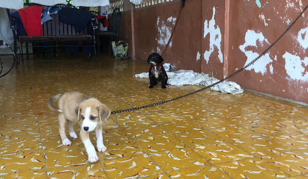 BOY & GIRL Puppies Needing a Chain-Free Home