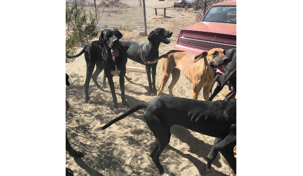 Pack of Great Danes