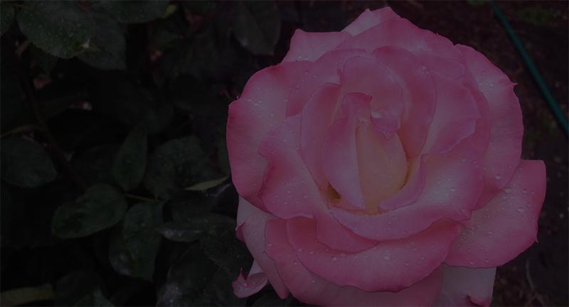 Rosesforbg