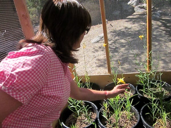 Idyllwild Lemon Lily Festival Plants Seed of Restoration