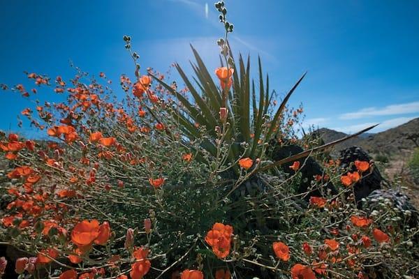 desertflowernames
