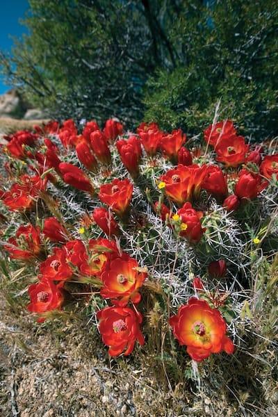cactusflowers