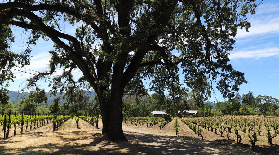 vineyards6