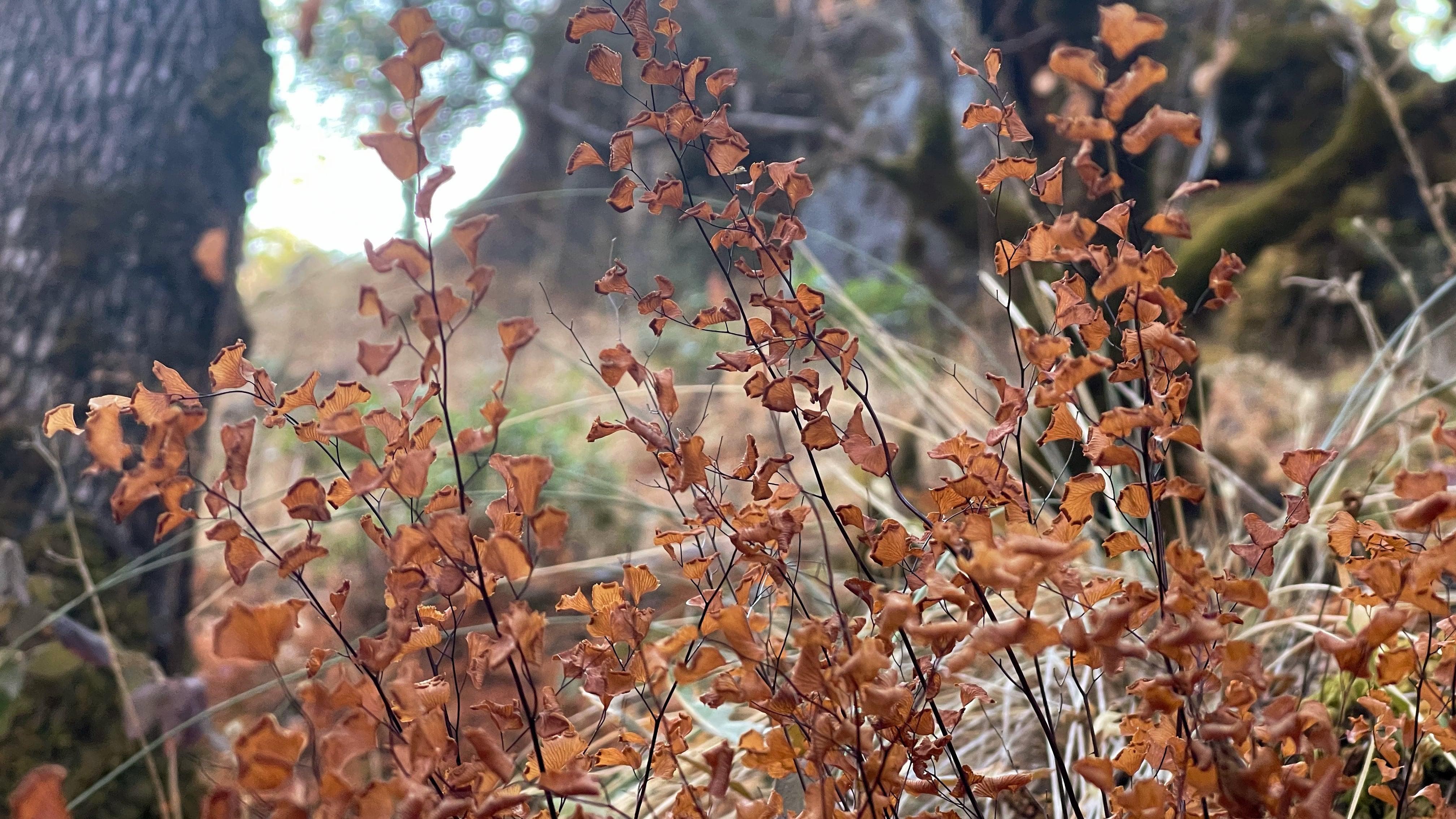 maiden hair ferns in autumn