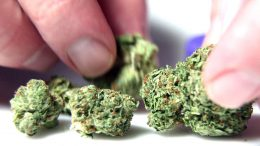 Cannabis Up Close #7: Famous El Chapo OG (Indica) – Marijuana Strain Review
