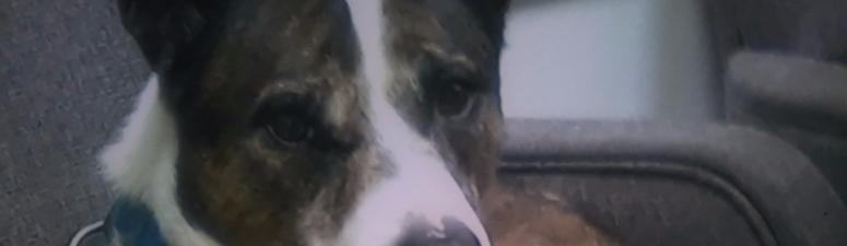 Layla, a service dog for a woman in Alameda, died from gunshot wounds on an Oakland freeway.