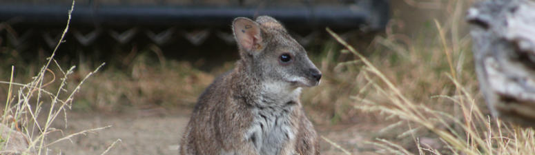 A baby Parma wallaby recently started poking out its head from the pouch of its mother at Happy Hollow zoo in San Jose.