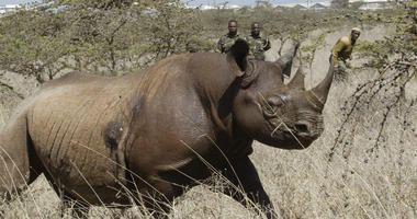 In this file photo taken on Saturday Jan.14, 2006, a 4-year old Female black Rhino, runs after it was darted at Nairobi National Park. A Kenyan wildlife official on Friday, July 13, 2018 says seven critically endangered black rhinos are dead following an