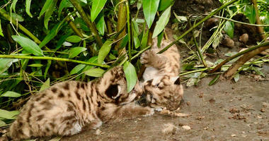 Two mountain lion kitten were found in Trione-Annadel State Park days after they were born.