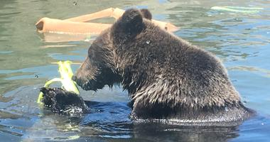 A grizzly cub is one of the new additions to the California Trail at the Oakland Zoo.