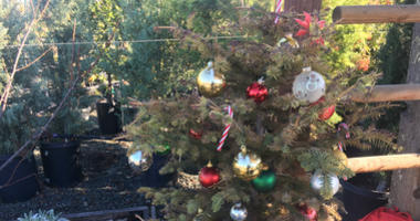 Renting A Living Christmas Tree Is A Growing Trend