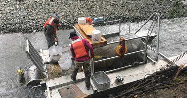 It has been decades since steelhead trout have spawned in the Alameda Creek, but specialists are checking every day because the conditions seem right for their arrival.