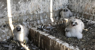 Three peregrine falcon chicks were born on top of PG&E's headquarters in San Francisco in early 2019.