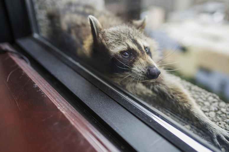 st paul raccoon set free after scaling 25 story tower the new alt