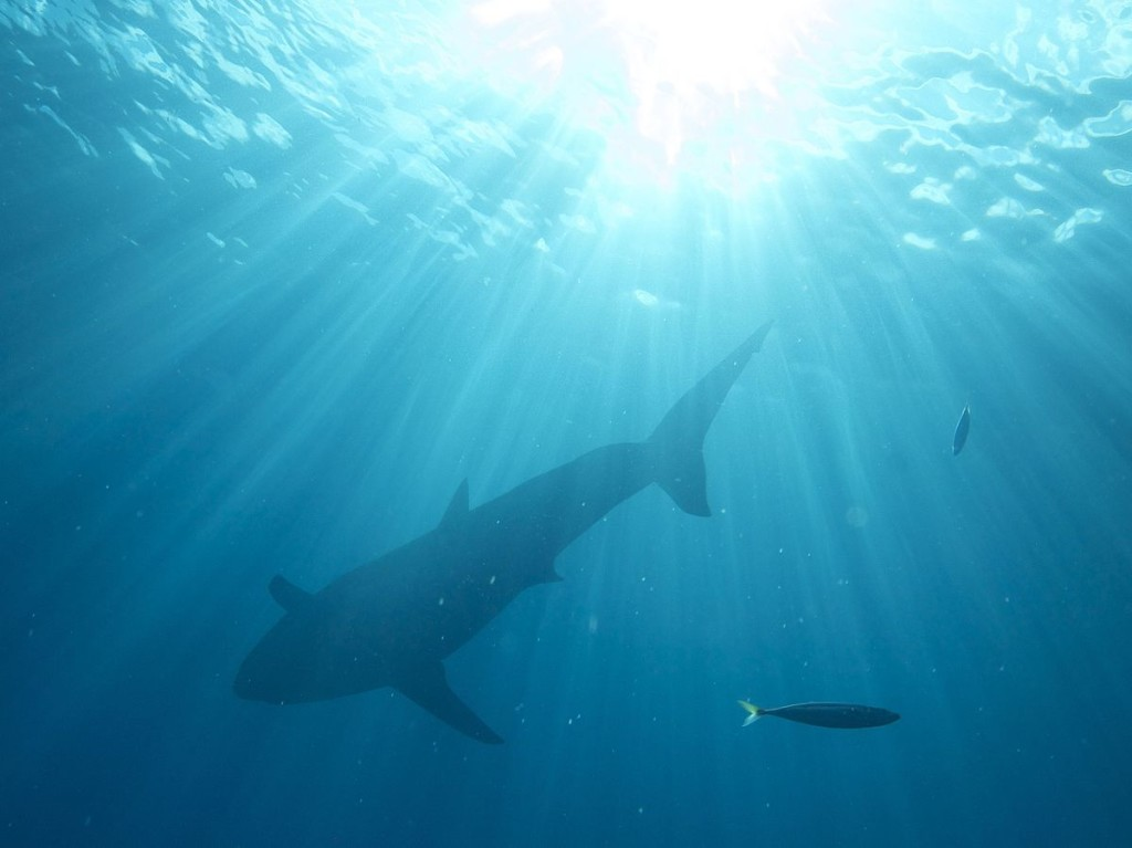 A Great White returning to the depths. Photo by Elias Levy
