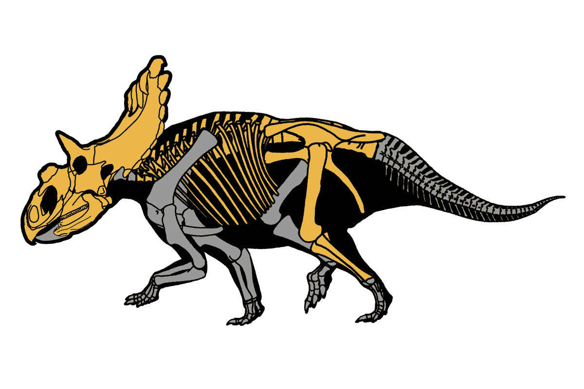 Skeletal reconstruction of Kosmoceratops with known elements in yellow
