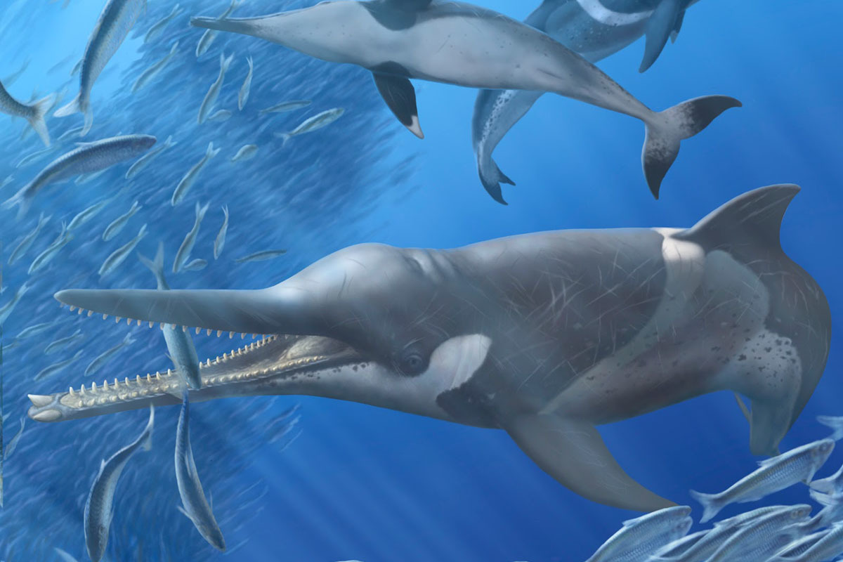 An artist's reconstruction of Messapicetus gregarius