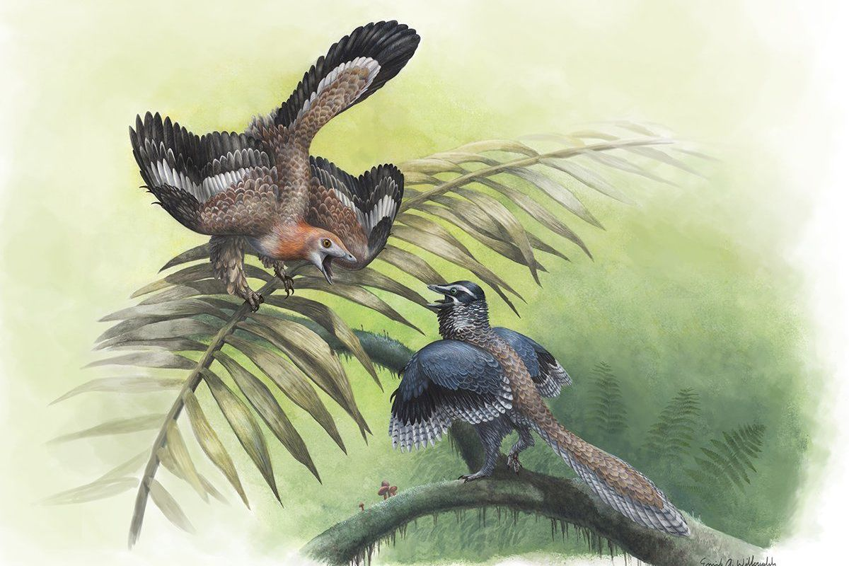 Archaeopteryx and Aurornis