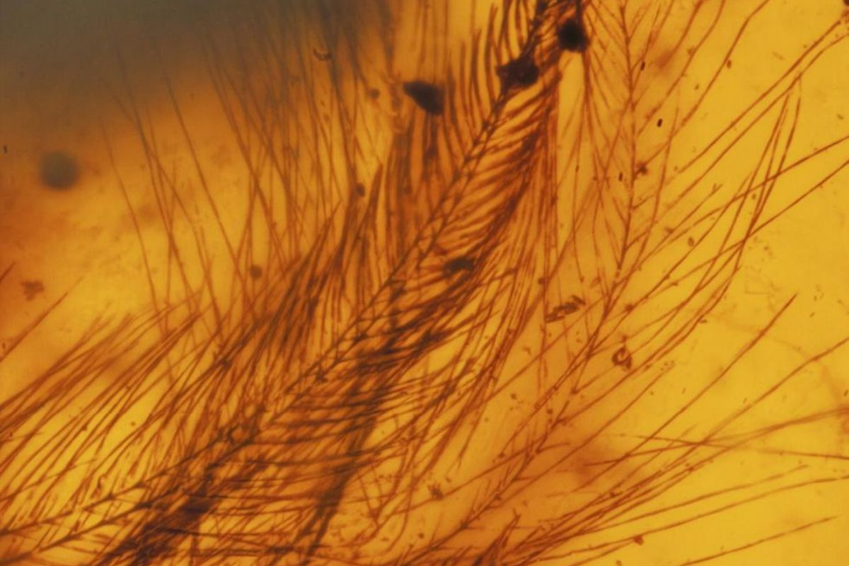 Bird feathers in amber