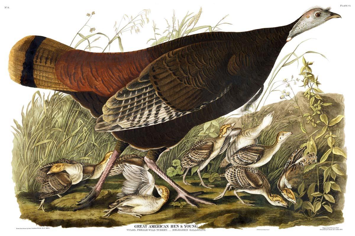 Wild Turkey / Meleagris gallopavo
