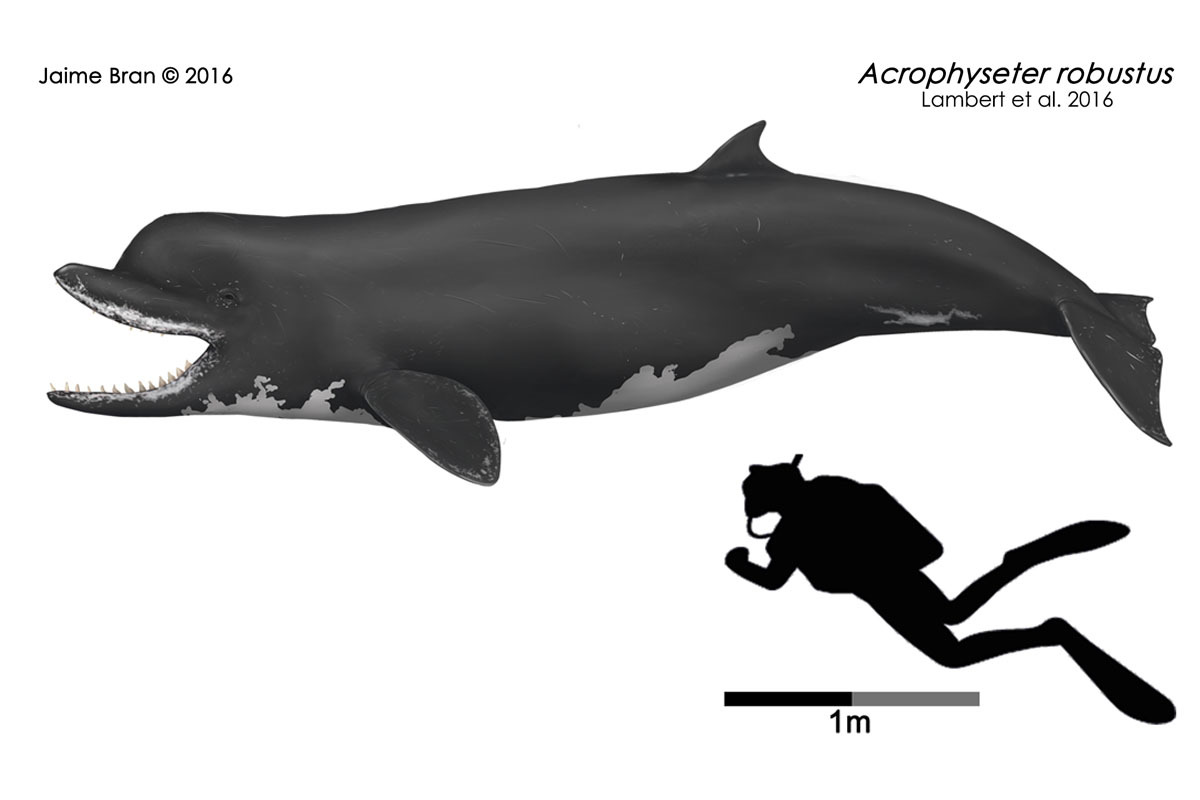 Acrophyseter compared to a human diver.