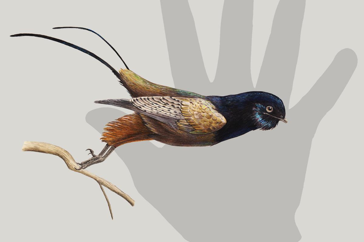 The unnamed iridescent bohaiornithid bird.