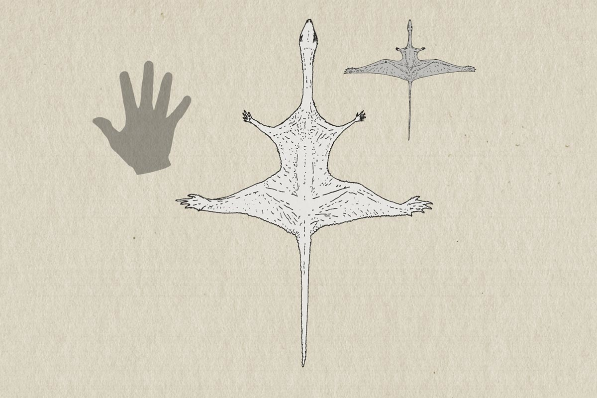 Ozimek volans (center) compared to Sharovipteryx mirabilis (right) and a human hand.