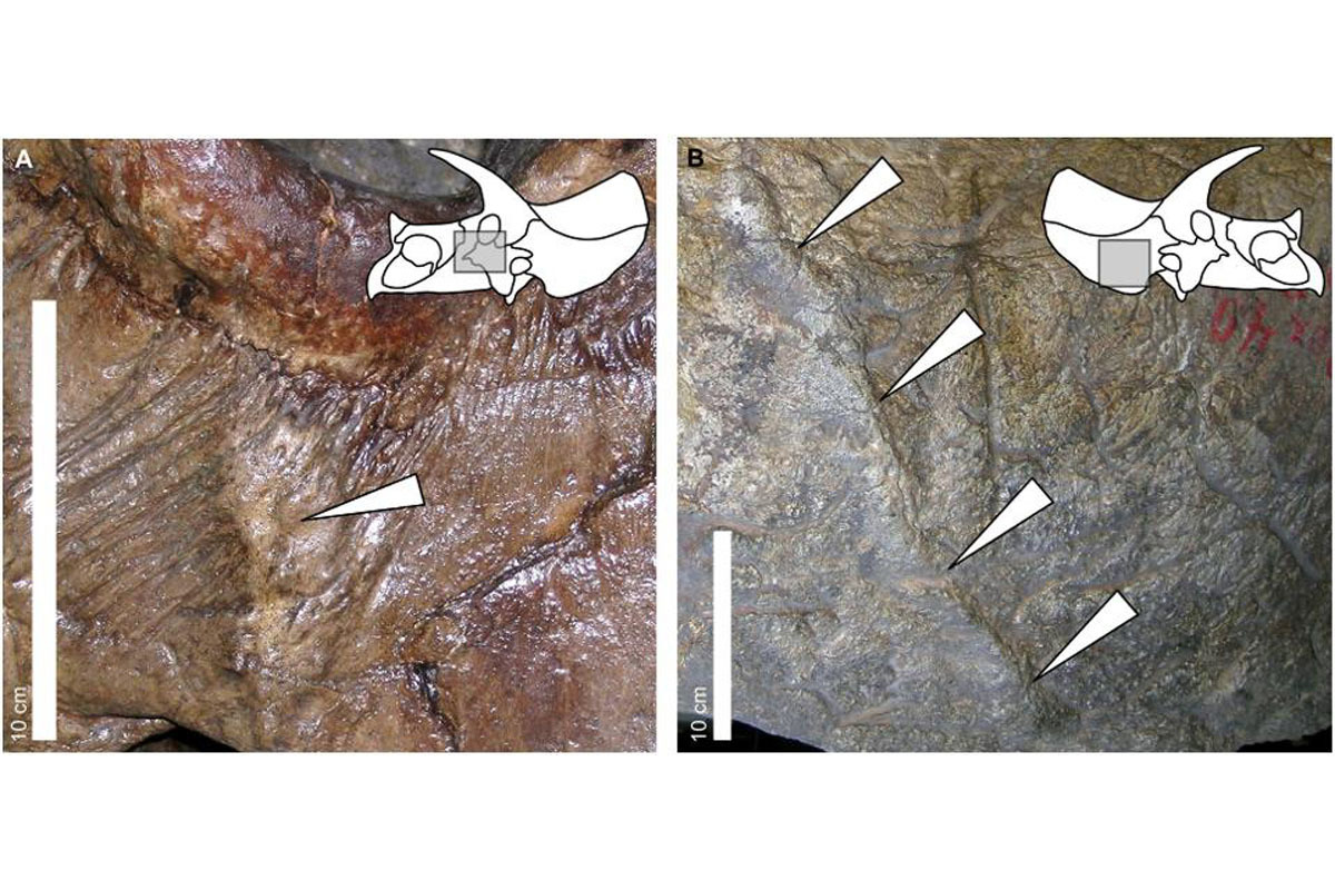 Triceratops fossils with bone lesions suggesting combat  behavior with its own kind.
