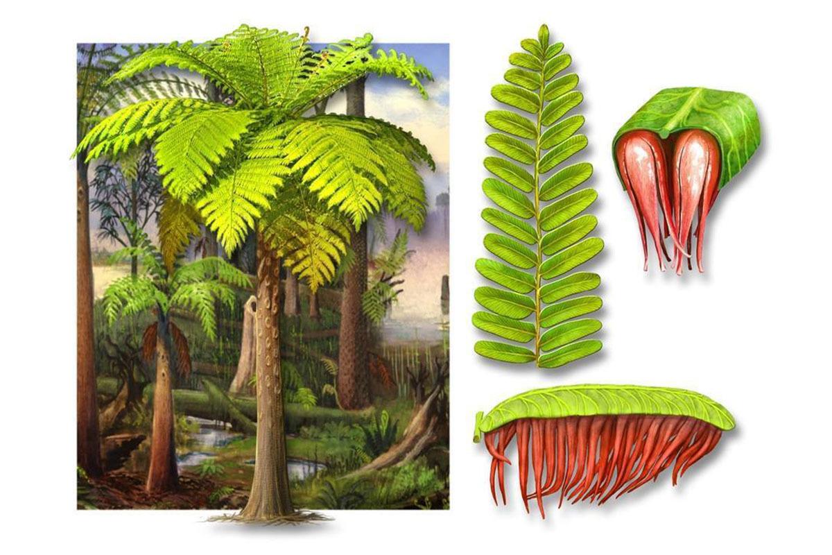 Artistic reconstruction of the new species, Acitheca murphyi