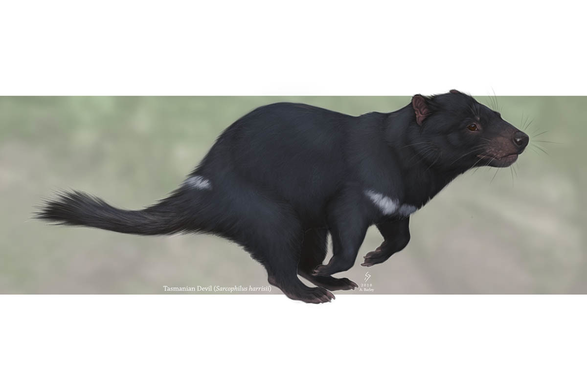 Despite their stocky appearances, Tasmanian devils can be quite agile.
