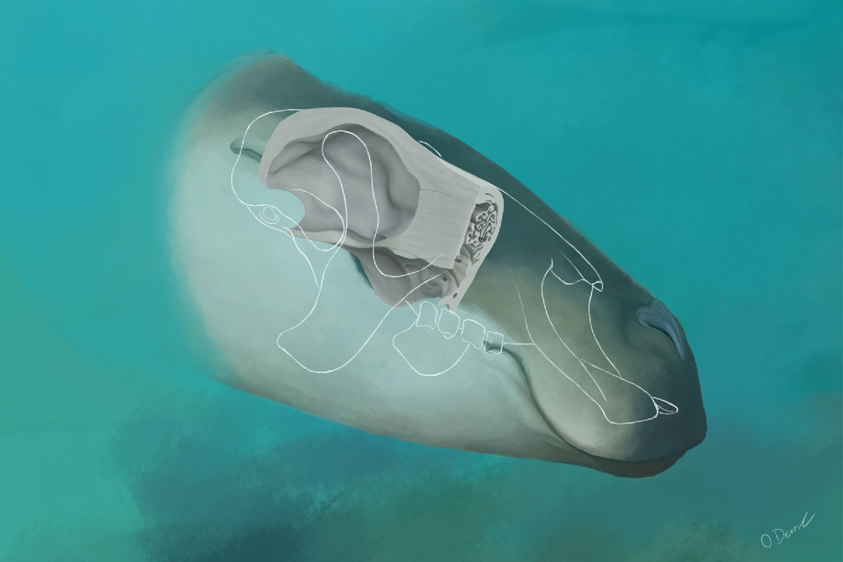 A reconstruction of Thalassocnus' thick skull within an artistic interpretation of the head