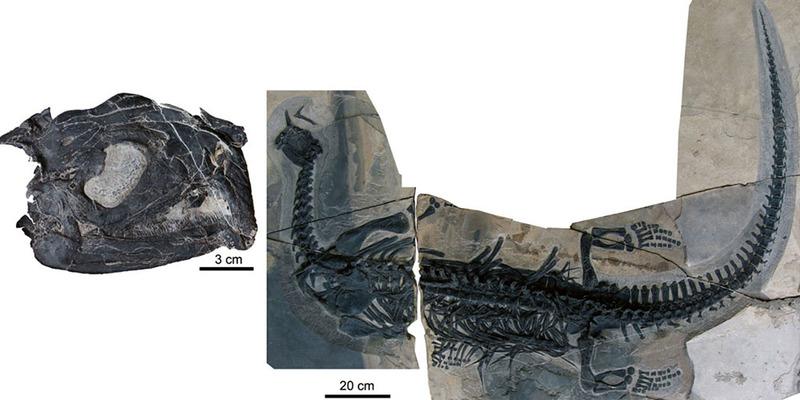 Atopodentatus skeleton