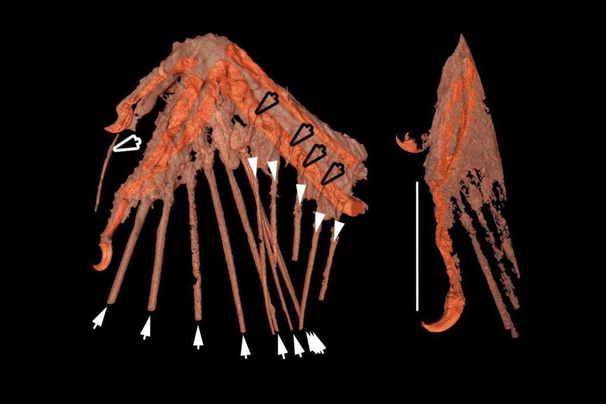 CT-scans of bird wings