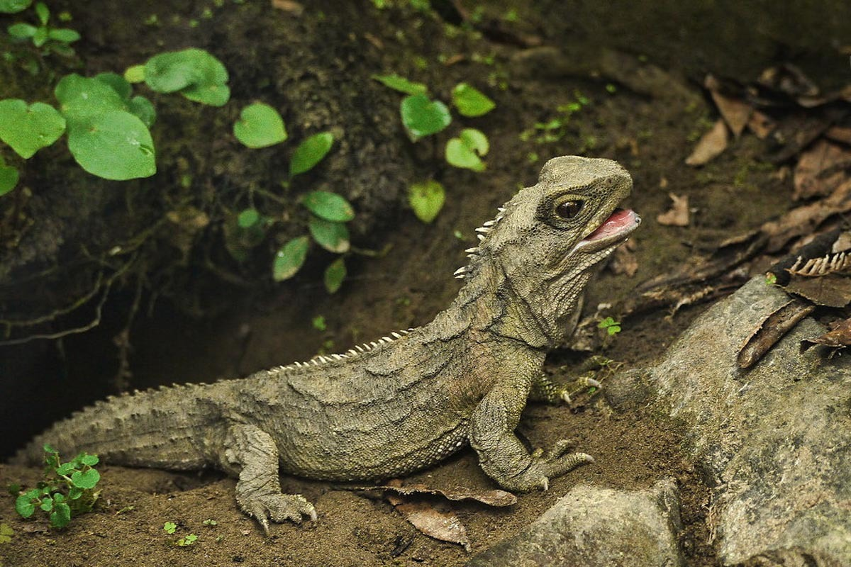 Tuatara with worn-down teeth