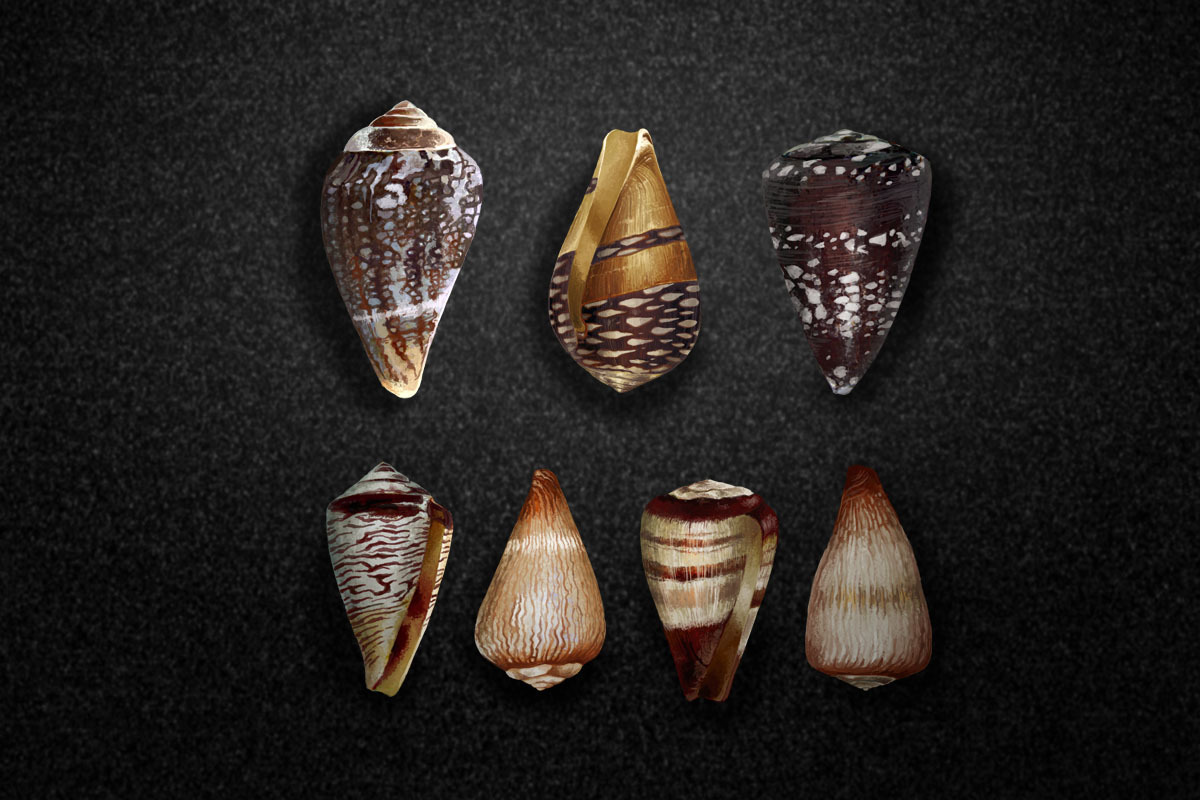 A collection of Conus shells