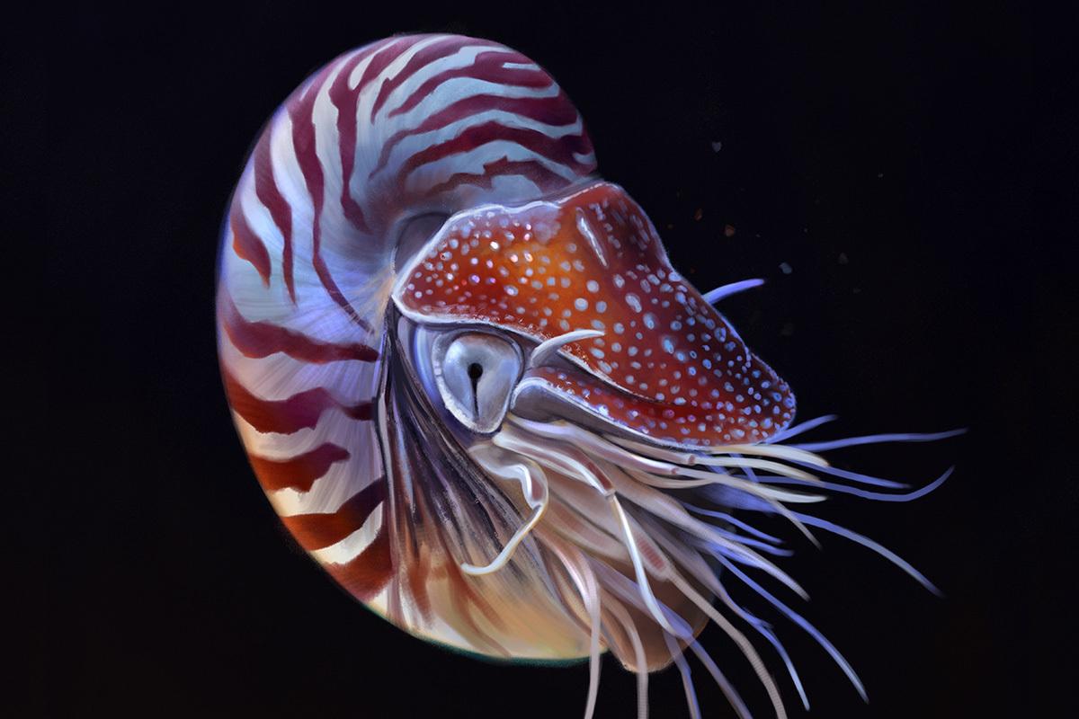 Nautilus pompilius / chambered nautilus
