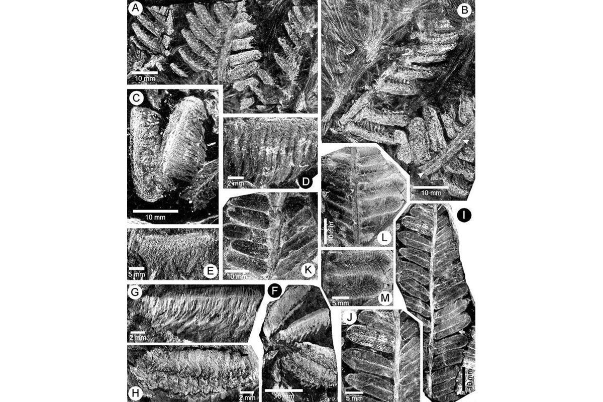 Photographs of the new species fern Acitheca murphyi