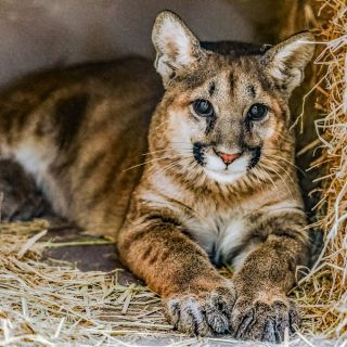 SoCal mountain lion cubs find home in Oakland