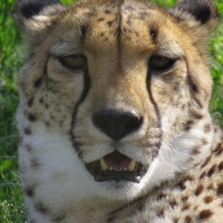 Safari West founding Cheetah 'Thula' dies