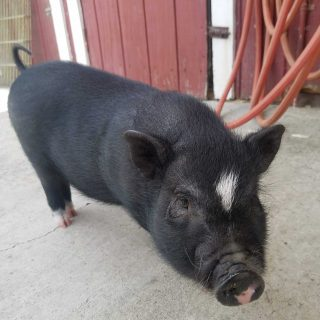Pig found roaming on El Camino up for adoption