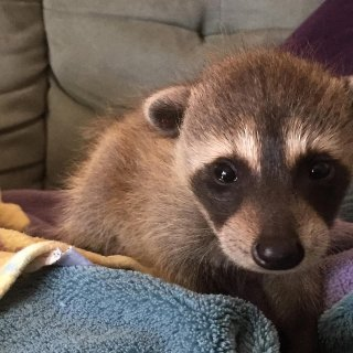 Baby raccoons recover after cross-country trek