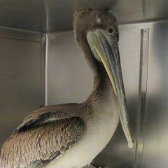 Pelican Patient