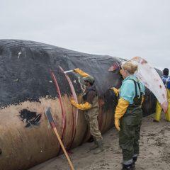 Blue Whale carcass Bolinas