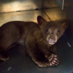 Baby burglar bear