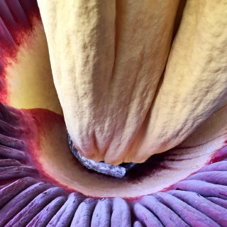 Fetid 'corpse flower' about to bloom in Berkeley