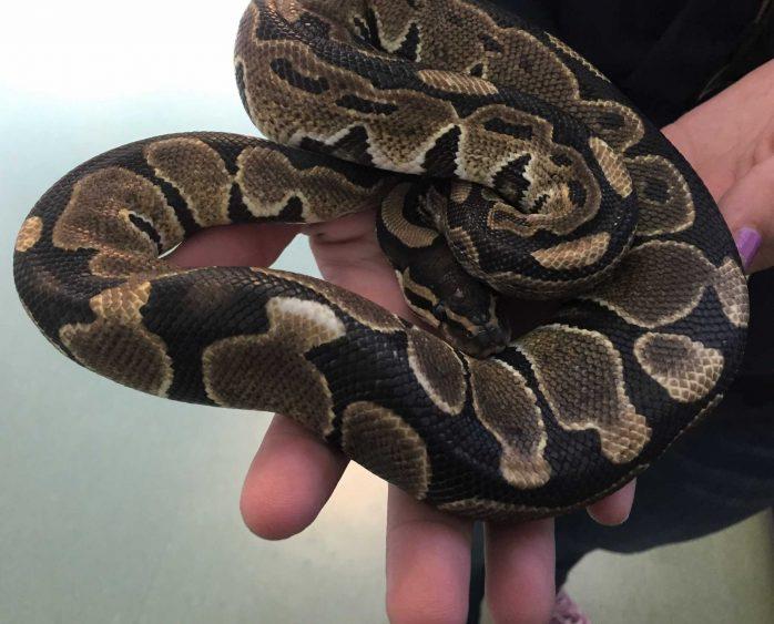 VTA snake