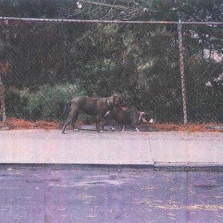 Off-leash pit bulls maul, kill chihuahua