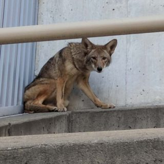 Roaming coyote spotted near Moscone Center