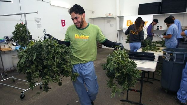 A worker at San Francisco cannabis garden Butterbrand transfers flowers for drying.